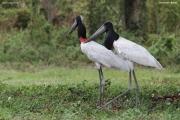 Jabiru_mycteria006.Pantanal.Brazylia.15.11.2013