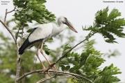 Anastomus_oscitans011.Tissamaharama.Sri_Lanka.30.11.2018