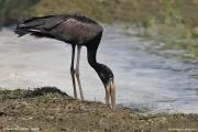 Anastomus_lamelligerus009.Entebbe.Uganda.10.02.2011