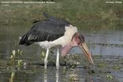 062.002.Leptoptilos_crumenifer001.Ziway_Lake.Etiopia.21.11.2009