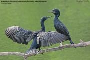 065.018.Phalacrocorax_fuscicollis001.Udawalawe.Sri_Lanka.29.11.2018