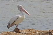 067.004.Pelecanus_philippensis001.Bundala_NP.Sri_Lanka.3.12.2018