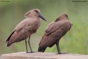 Scopus_umbretta015.Mabamba_Swamps.Uganda.26.11.2012