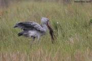 Balaeniceps_rex03.Mabamba_Swamp.Uganda.PJ.12.02.2011