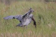 Balaeniceps_rex02.Mabamba_Swamp.Uganda.PJ.12.02.2011