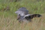 Balaeniceps_rex09.Mabamba_Swamp.Uganda.PJ.5.03.2011