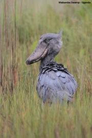 Balaeniceps_rex16.Mabamba_Swamp.Uganda.26.11.2012