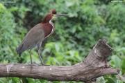 Tigrisoma_lineatum006.Pantanal.Brazylia.18.11.2013