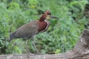 Tigrisoma_lineatum007.Pantanal.Brazylia.18.11.2013