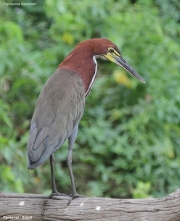 Tigrisoma_lineatum011.Pantanal.Brazylia.18.11.2013