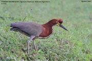 070.003.Tigrisoma_lineatum001.Pantanal.Brazylia.14.11.2013