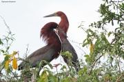 Tigrisoma lineatum004.Pantanal.Brazylia.14.11.2013