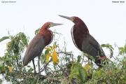 Tigrisoma_lineatum003.Pantanal.Brazylia.14.11.2013
