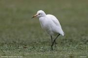 Bubulcus-ibis016.Nuwara-Eliya.Sri-Lanka.5.12.2018