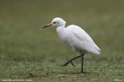 Bubulcus-ibis017.Nuwara-Eliya.Sri-Lanka.5.12.2018