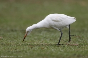 Bubulcus-ibis018.Nuwara-Eliya.Sri-Lanka.5.12.2018