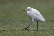 Bubulcus-ibis019.Nuwara-Eliya.Sri-Lanka.5.12.2018