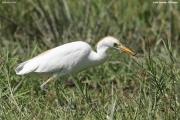 Bubulcus_ibis005.Awasa.Etiopia.12.11.2009