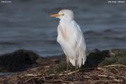 Bubulcus_ibis006.Ziway_Lake.Etiopia.21.11.2009