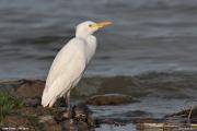 Bubulcus_ibis007.Ziway_Lake.Etiopia.21.11.2009