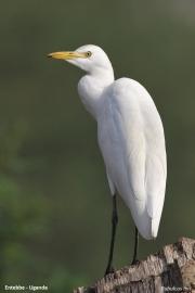Bubulcus_ibis008.Entebbe.Uganda.10.02.2011