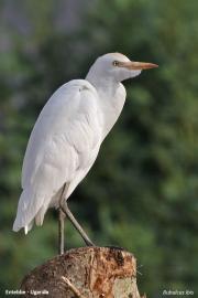 Bubulcus_ibis009.Entebbe.Uganda.10.02.2011