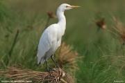 Bubulcus_ibis014.Murchison_Falls_N.P.Uganda.PJ.16.02.2011