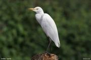 Bubulcus_ibis011.Entebbe.Uganda.10.02.2011