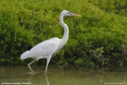 Ardea_herodias_occidentalis002.Los_Roques.24.11.2005