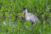 Ardea_cocoi004.Pantanal.Brazylia.12.11.2013