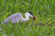 Ardea_cocoi006.Pantanal.Brazylia.12.11.2013