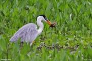 Ardea_cocoi007.Pantanal.Brazylia.12.11.2013