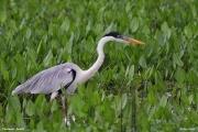 Ardea_cocoi009.Pantanal.Brazylia.12.11.2013