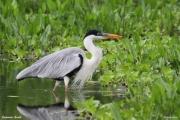 Ardea_cocoi011.Pantanal.Brazylia.12.11.2013