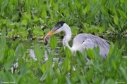 Ardea_cocoi005.Pantanal.Brazylia.12.11.2013