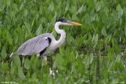 Ardea_cocoi008.Pantanal.Brazylia.12.11.2013