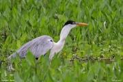 Ardea_cocoi012.Pantanal.Brazylia.12.11.2013
