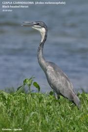 070.046.Ardea_melanocephala001.Entebbe.Uganda.10.02.2011