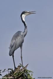 Ardea_melanocephala003.Entebbe.Uganda.10.02.2011