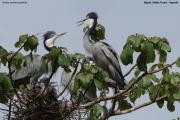 Ardea_melanocephala005.Bigodi.Kibale_Forest_N.P.Uganda.PJ.19.02.2011