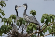 Ardea_melanocephala006.Bigodi.Kibale_Forest_N.P.Uganda.PJ.19.02.2011