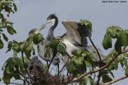 Ardea_melanocephala007.Bigodi.Kibale_Forest_N.P.Uganda.PJ.19.02.2011