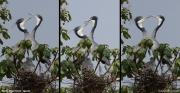 Ardea_melanocephala008.Bigodi.Kibale_Forest_N.P.Uganda.PJ.19.02.2011