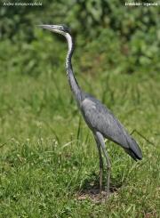 Ardea_melanocephala002.Entebbe.Uganda.10.02.2011