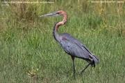 070.050.Ardea_goliath001.Murchison_Falls_N.P.Uganda.19.11.2012