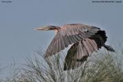 Ardea_goliath004.Murchison_Falls_N.P.Uganda.19.11.2012