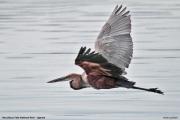 Ardea_goliath007.Murchison_Falls_N.P.Uganda.19.11.2012