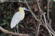 070.055.Pilherodius_pileatus001.Pantanal.Brazylia.18.11.2013