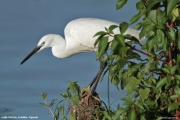 Egretta_garzetta021.Entebbe.Lake_Victoria.Uganda.26.11.2012