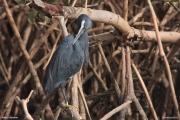 Egretta_gularis021.Wybrzeze.Gambia.22.01.2009